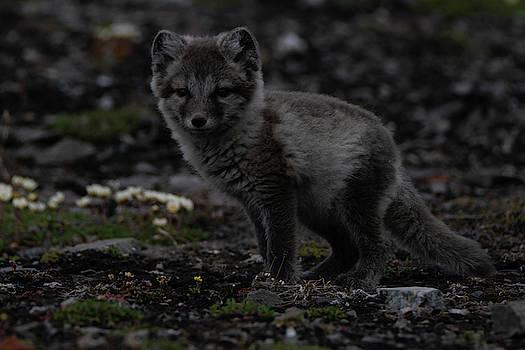 Arctic Fox by Kai Mueller
