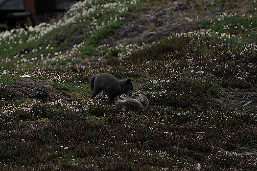 Arctic Foxes by Kai Mueller