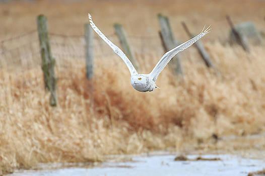 Gary Hall - Arctic Owl on the Hunt