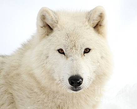 Arctic Wolf Close Up by Heather King