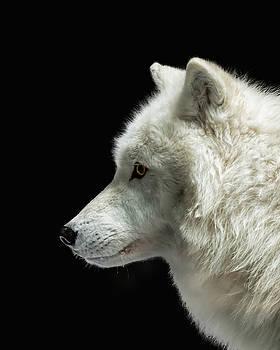 Susan Rissi Tregoning - Arctic Wolf in Profile