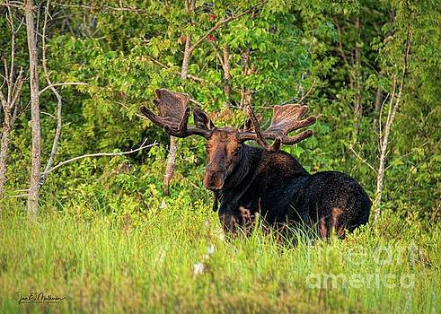 Are You Following Me - Bull Moose by Jan Mulherin