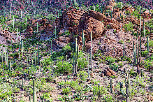 Arizona Desert Saguaro Forest by James BO Insogna