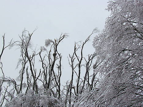Ash Grove After the Ice Storm by Boyd Carter
