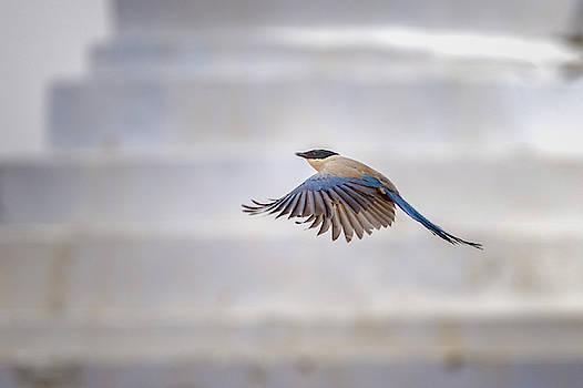 Asian Azure Winged Magpie Mati Si Temple Zhangye Gansu China by Adam Rainoff
