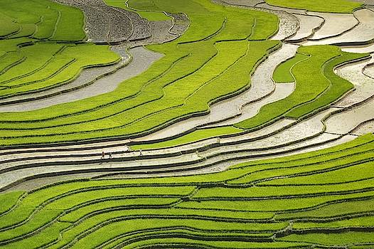 Asian rice field by Top Wallpapers
