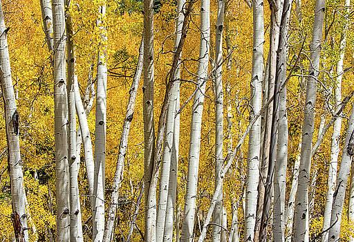 Aspen Autumn by Britt Runyon