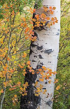 Max Waugh - Aspen Trees