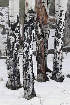 Aspen Trunks in Snow by Fred Hood