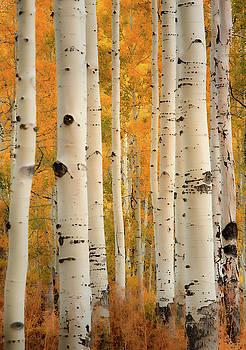 Aspens in Autumn by Don Schwartz