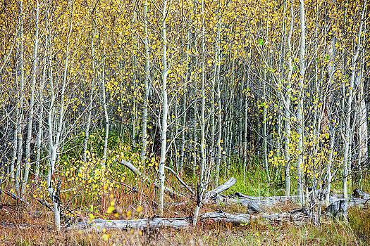 Aspens In Fall by Sandra Bronstein