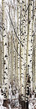 Brian Harig - Aspens In Winter Vertical Panorama 2 - Colorado