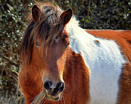 Assateague Pinto Mare Ms Macky by Bill Swartwout Fine Art Photography