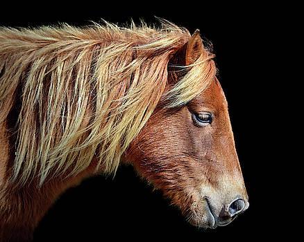 Assateague Pony Sarah's Sweet Tea Portrait on Black by Bill Swartwout Fine Art Photography