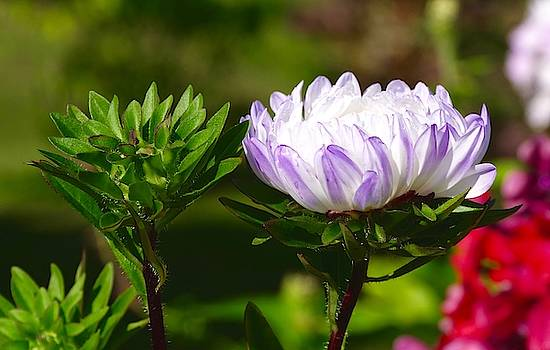 Aster Flowers With Water Drops by Tamara Sushko