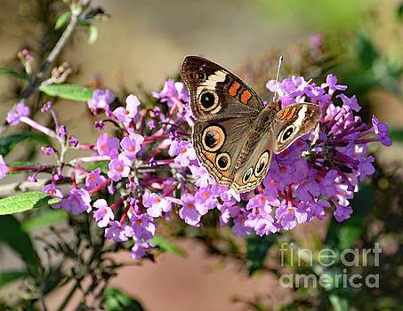 Cindy Treger - Astonishing Common Buckeye