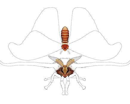 Atlas Moth1 by Joan Stratton