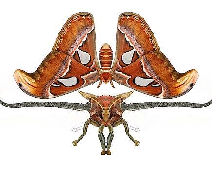 Atlas Moth5 by Joan Stratton
