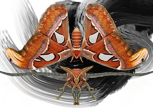 Atlas Moth8 by Joan Stratton