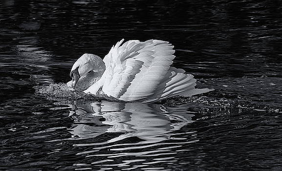 Attacking Swan Monochrome by Jeff Townsend