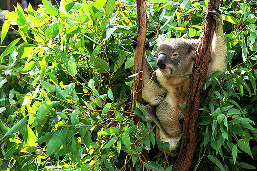 Australian Koala resting during the day. by Rob D Imagery