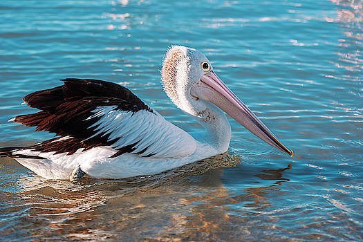 Australian Pelican swimming by Rob D Imagery
