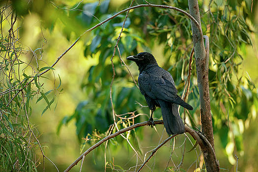 Australian Raven by Rob D Imagery