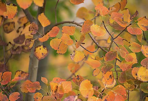 Max Waugh - Autumn Aspen Leaves