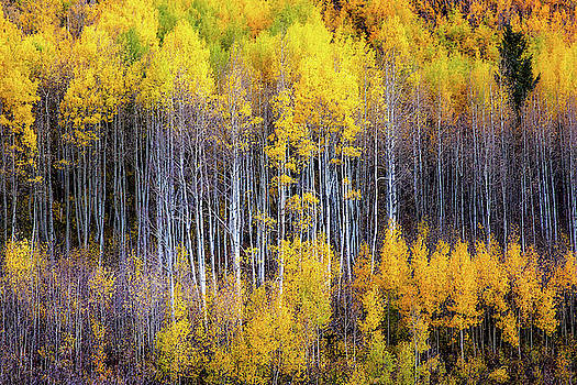 Autumn Aspens - Apsen Trees Appearing as Reflection in Western Colorado by Southern Plains Photography