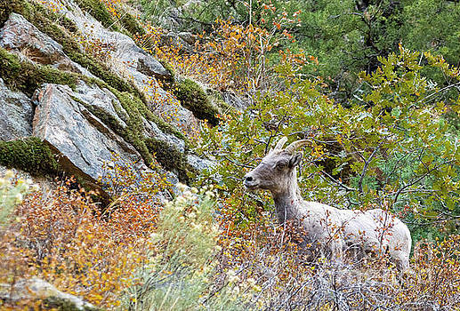 Steve Krull - Autumn Bighorn Sheep In Waterton Canyon