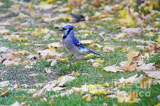 Autumn Bluejay by Sandra Updyke
