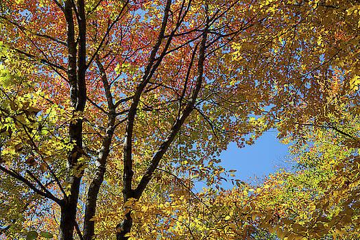 Cliff Wassmann - Autumn Foliage I