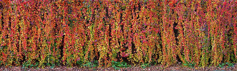 Autumn Wall by Wim Lanclus