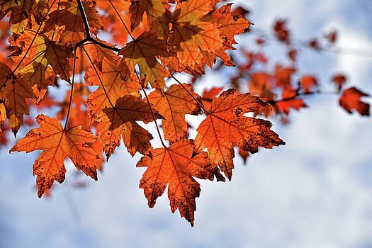 Autumn Maple Leaves by Maria Keady
