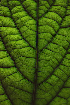 Avocado Study No. 2 by Bruce Davis