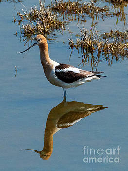 Avocet Mirrored by Mike Dawson