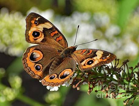 Cindy Treger - Awesome Beauty - Common Buckeye