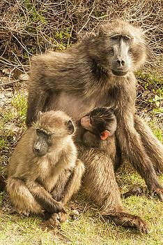 Baboon Family by Paul Croll