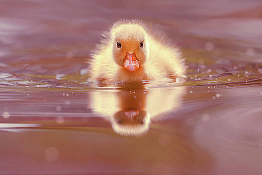 Baby Animal Series - Baby duckling by Roeselien Raimond