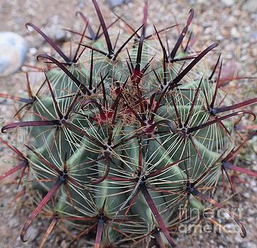 Janet Marie - Baby Barrel Cactus Is Fully Armoured