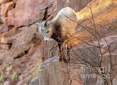 Baby Bighorn Playing on the Rocks by Steve Krull