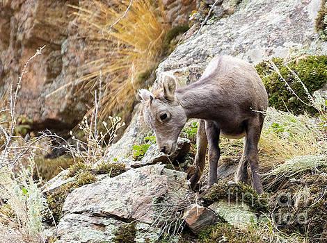 Steve Krull - Baby Bighorn Sheep Frolicking In Waterton Canyon