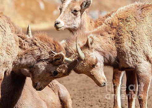 Baby Bighorns at Play by Steve Krull