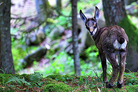 Baby Chamois by Ivan Slosar