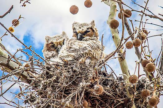 Baby Great Horned Owls by David Wagenblatt