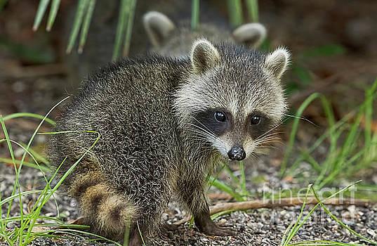 Baby Raccoon by Deborah Benoit