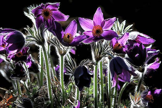 Backlit Pasque Flowers by Donna Kennedy