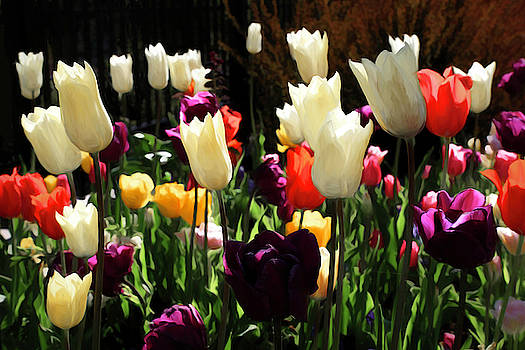 Backlit Tulips by Donna Kennedy