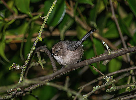 Backyard Bushtit by Marv Vandehey