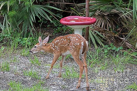 Backyard Fawn by Deborah Benoit